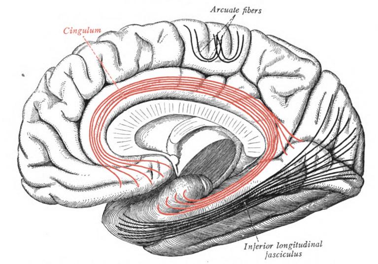 Anatomi Cingulum, Cingulum AS