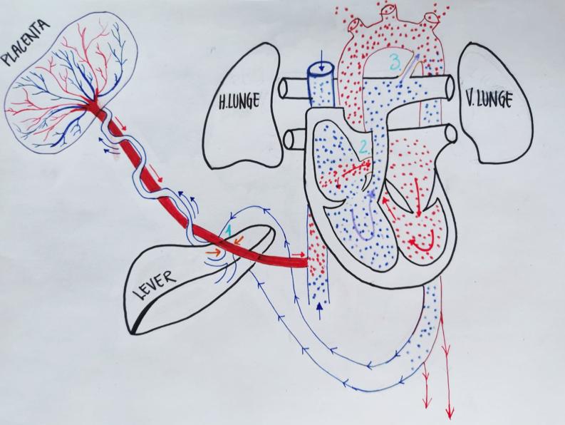 Illustrasjon av nyfødtsirkulasjon, Cingulum AS