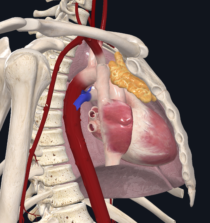thymus-cingulum-1
