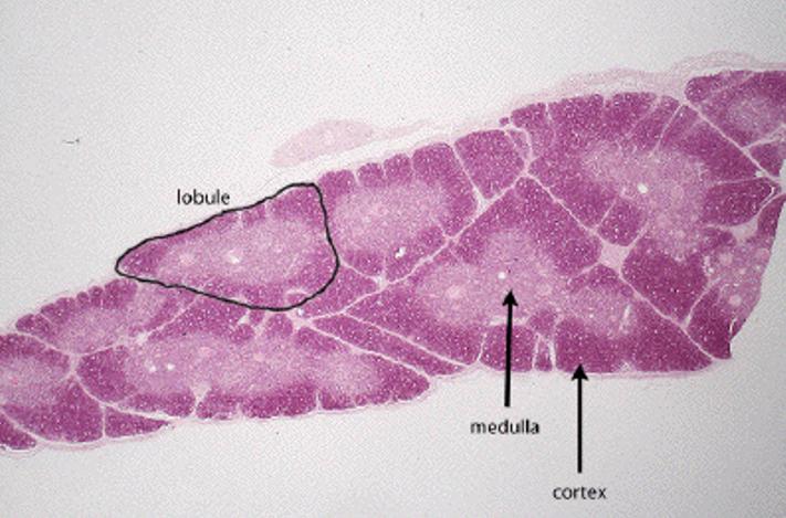 thymus-cingulum-2